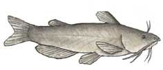 Catfish (Channel)