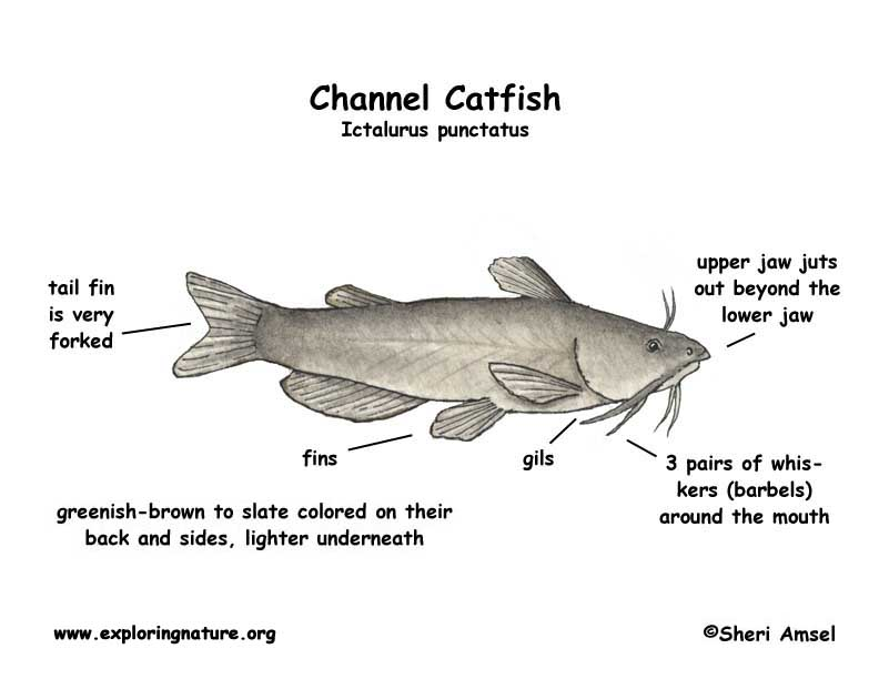 catfish (channel) angler fish diagram