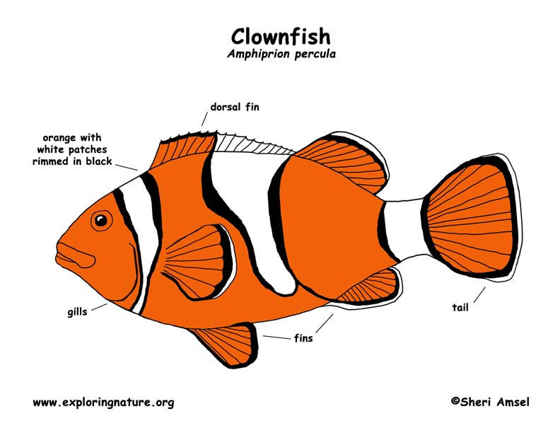 Clown Fish Diagram Online Schematic Diagram