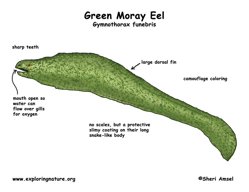 moray eel (green) moray eel diagram