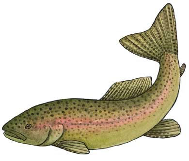 Trout (Rainbow)