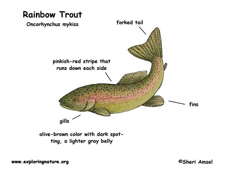 Trout (Rainbow)
