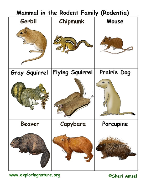 Rodent Family Flashcards Rodentia
