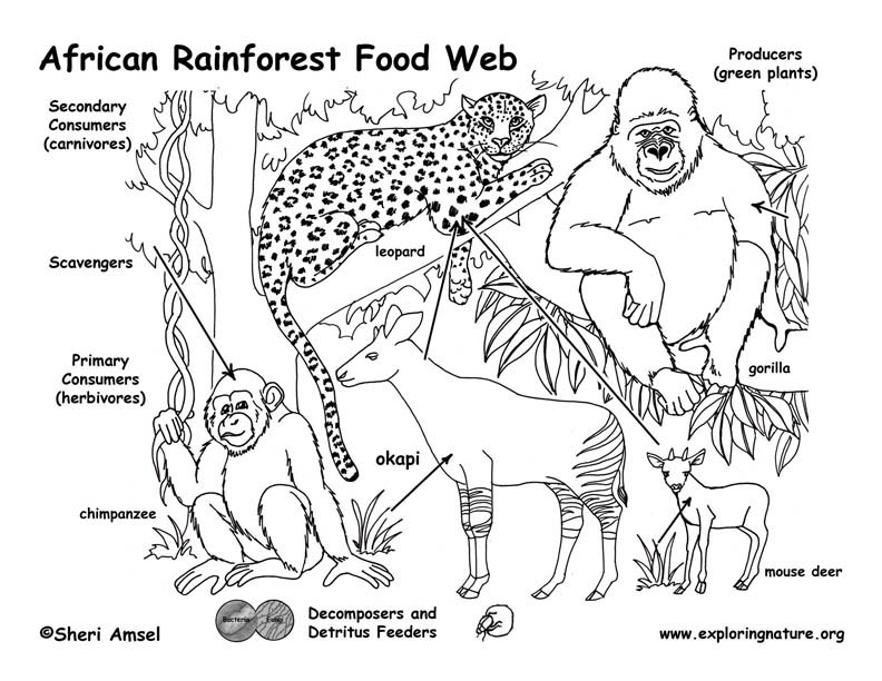 Rainforests of Africa Food Web -- Exploring Nature Educational ...