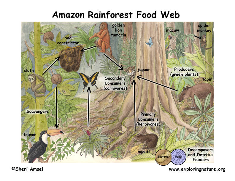 Amazon Grassland Food Web Illustrated and Labeled