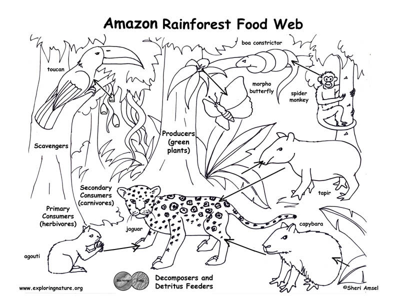 Amazon rainforest food web for Food web coloring pages