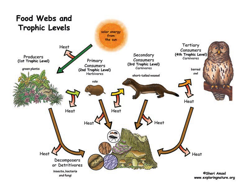 Food Webs and Trophics Levels Diagram Illustrated and Labeled