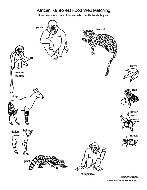 Rainforest food chain coloring pictures coloring pages for Food web coloring pages