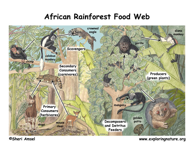 African Rainforest Food Web Illustrated and Labeled