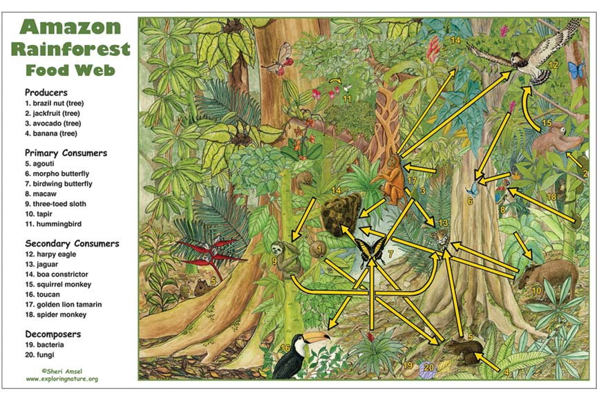 Amazon Rainforest Food Web Activity