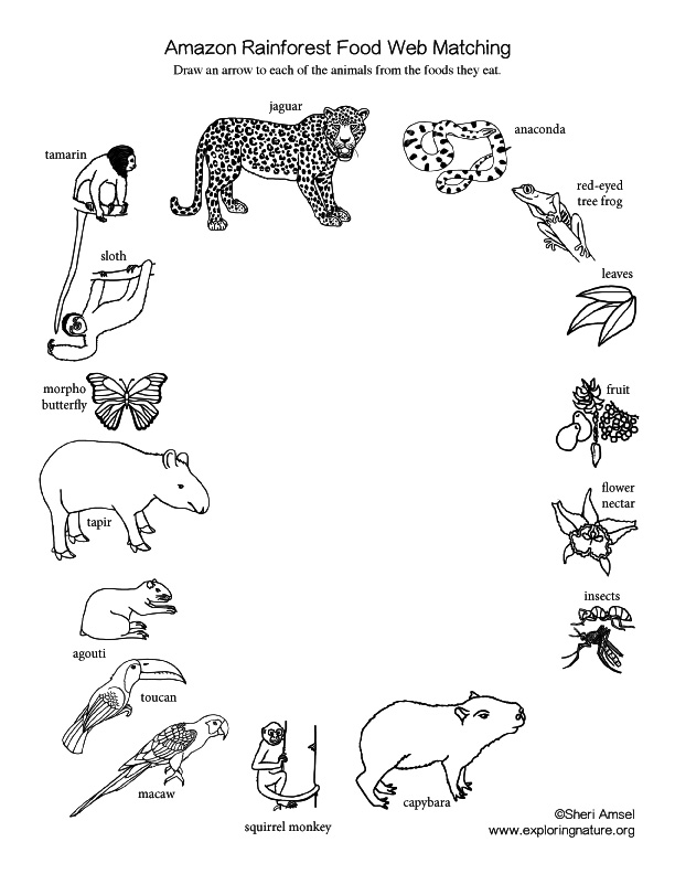 Amazon rainforest food web matching activity for Food web coloring pages