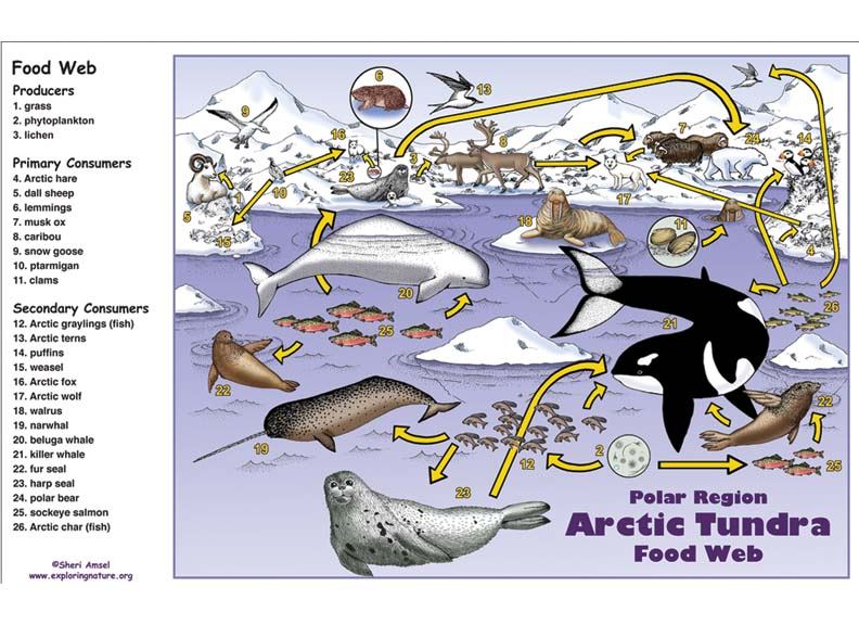 Arctic Food Web Diagram Producer Block And Schematic Diagrams