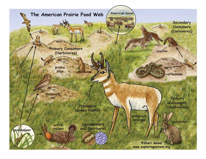 American Prairie Food Web Illustrated and Labeled