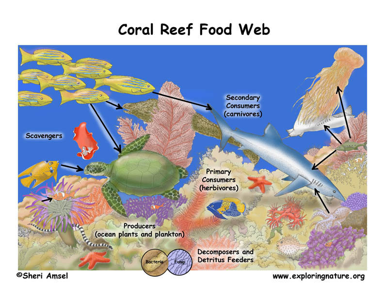 food chain coral reef. Coral Reef Food Web