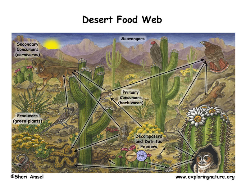 Desert Food Web Illustrated and Labeled