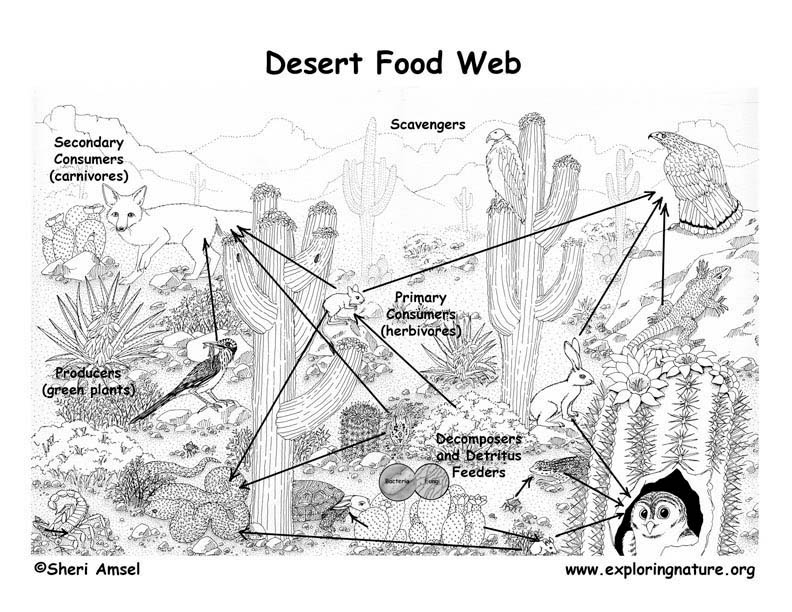 Sonoran Desert Food Web