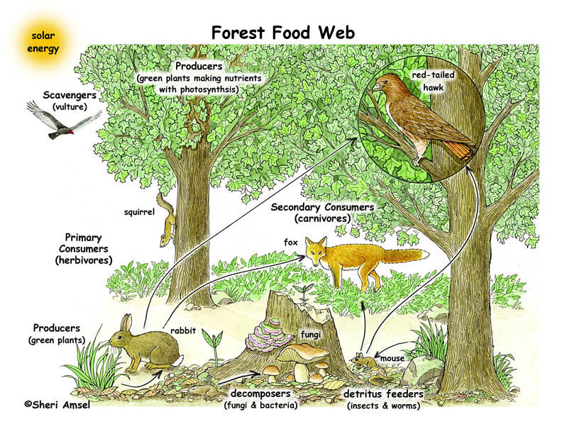 Forest Food Web Illustrated and Labeled