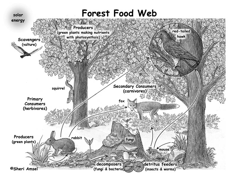 Forest Food Webs