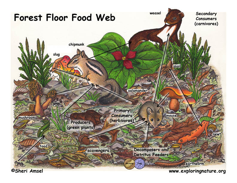 Forest Floor Food Web Illustrated and Labeled