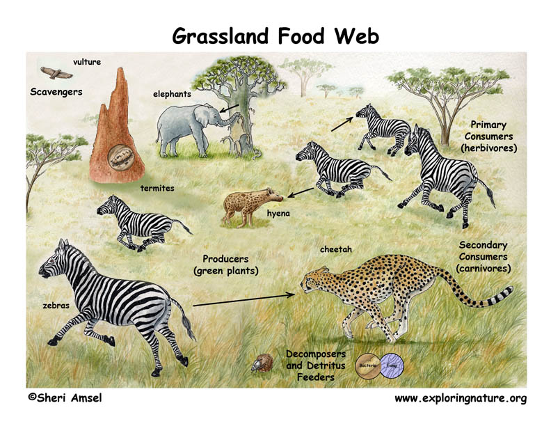 African Grassland (Savanna) Food Web
