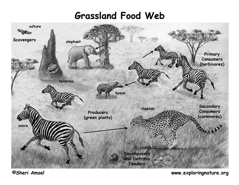 food chain and food web in ecosystem pdf free