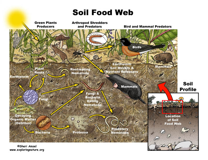Soil Food Web Illustrated and Labeled
