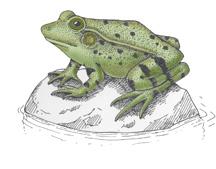 Frog (Green)  Life Cycle