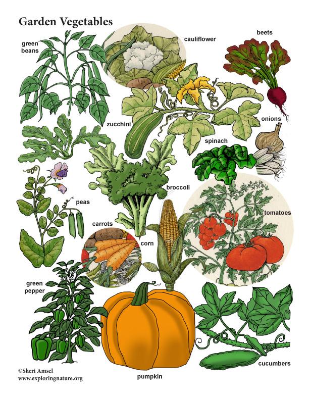 Garden Vegetables color Poster