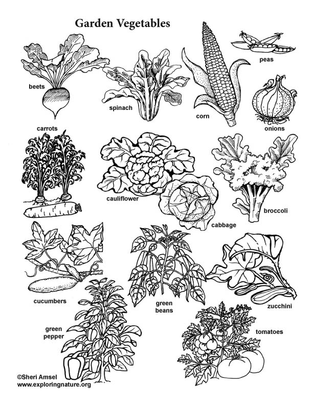 vegetable garden coloring pages | Realistic Coloring Pages Vegetable Garden Coloring Pages