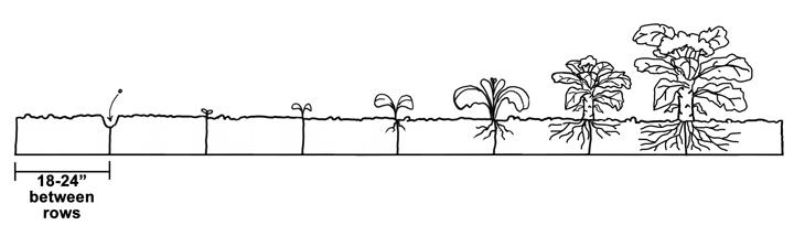 Spacing Plants in the Garden Diagram