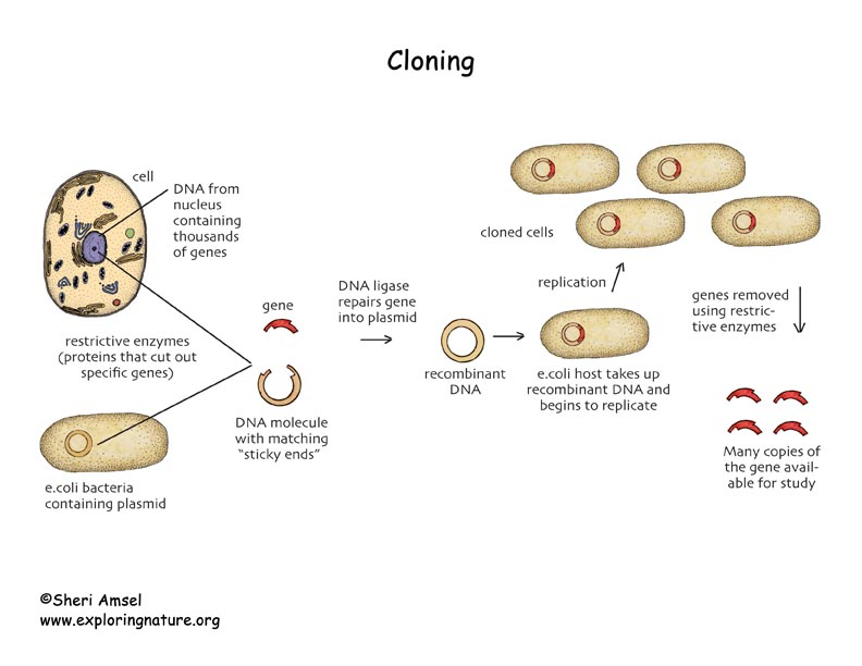 an analysis of cloning in human The pros and cons of human cloning essay 3781 words 16 pages the cloning of humans is now very close to reality, thanks to the historic scientific breakthrough of dr ian wilmut and his colleagues in the uk.