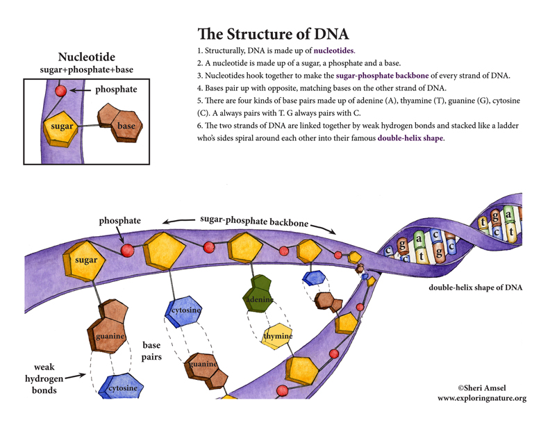 DNA - Structure and Function