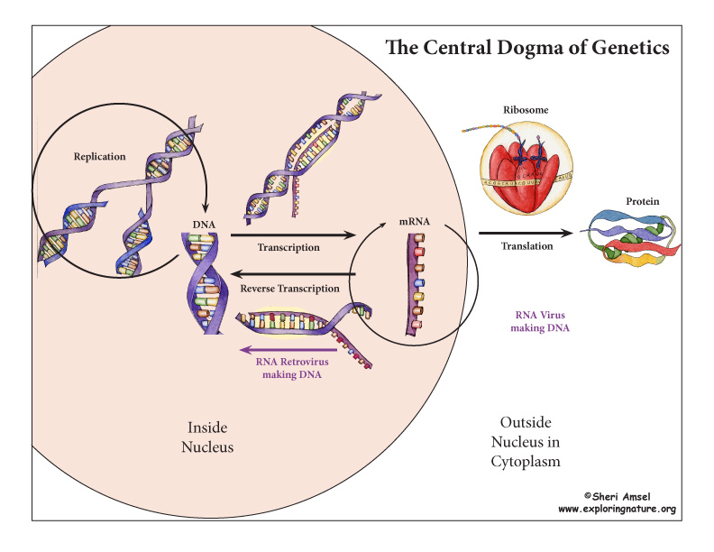 Central Dogma of Genetics Model