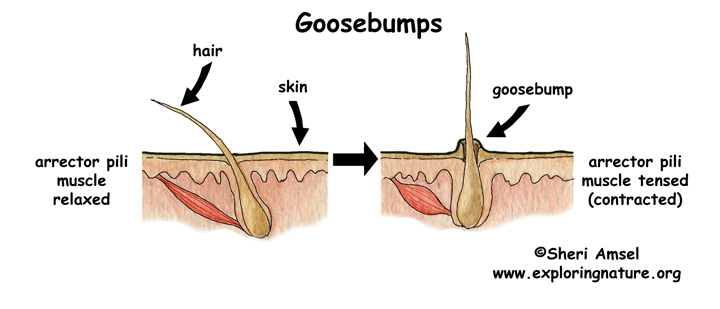 What are Goose Bumps