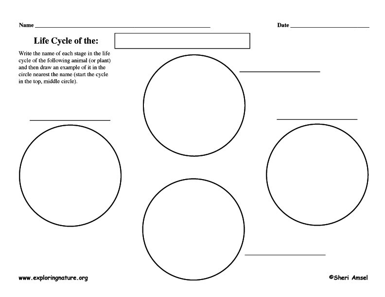 Graphic Organizer - Life Cycles