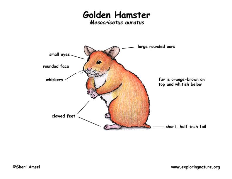 Hamster (Golden)