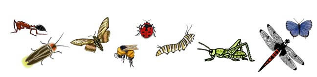 Classification - Insects Orders Illustrated (Grade 3-6)