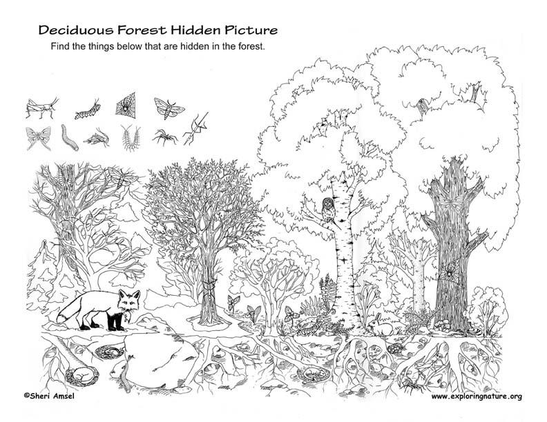 Deciduous Forest Hidden Picture