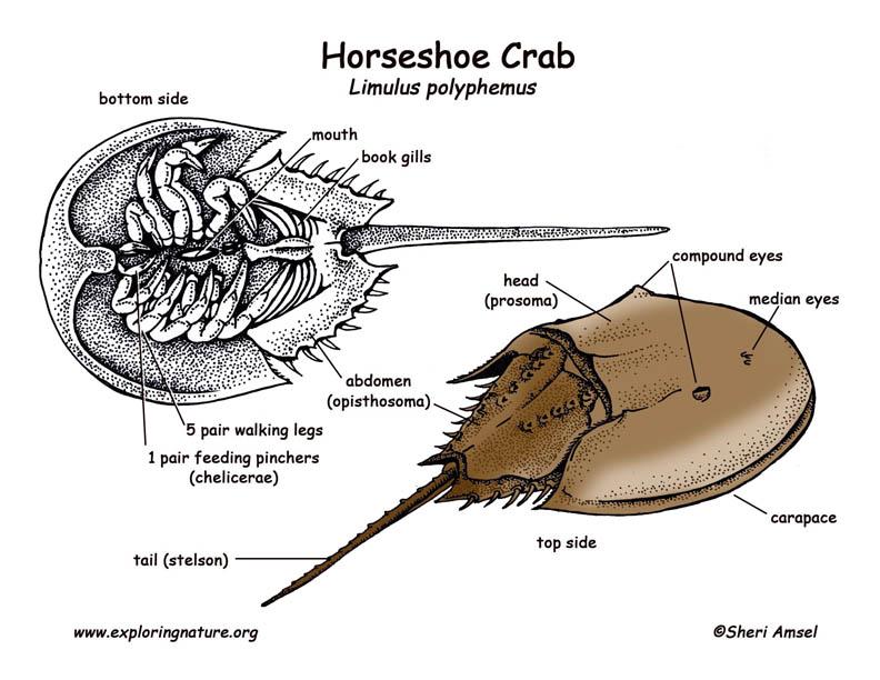 Horseshoe crab diagramCrab Diagram