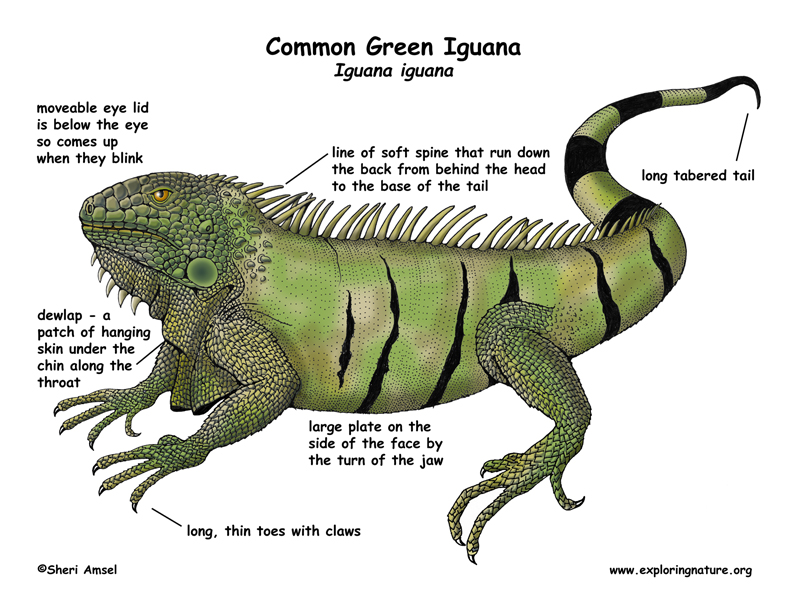 Iguana (Common Green)