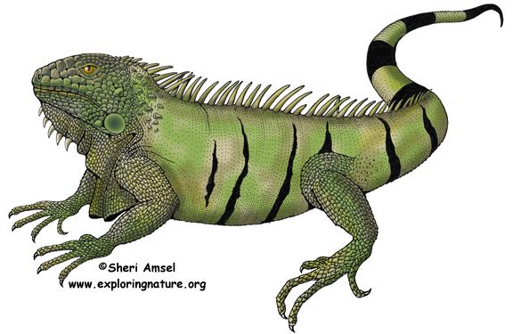 Iguana (Common Green)