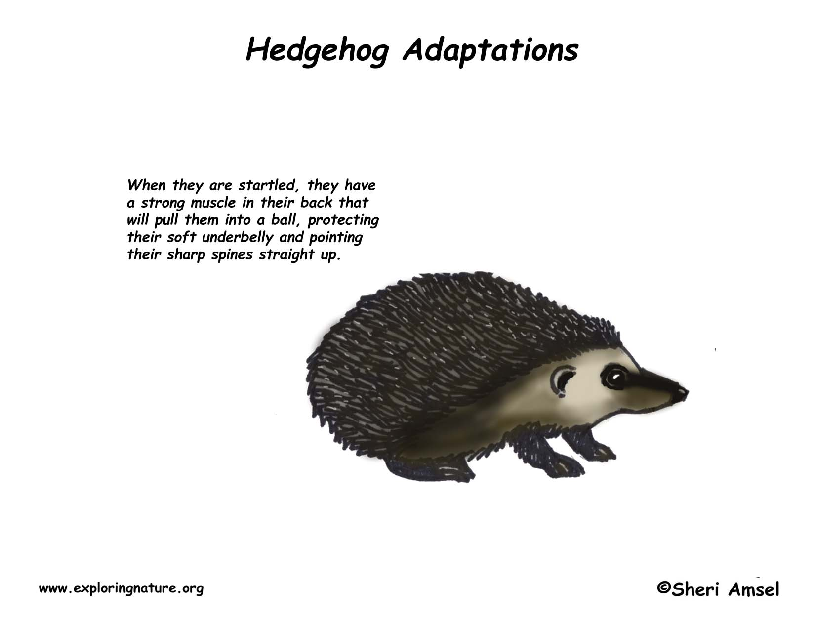 adaptations of the hedgehog