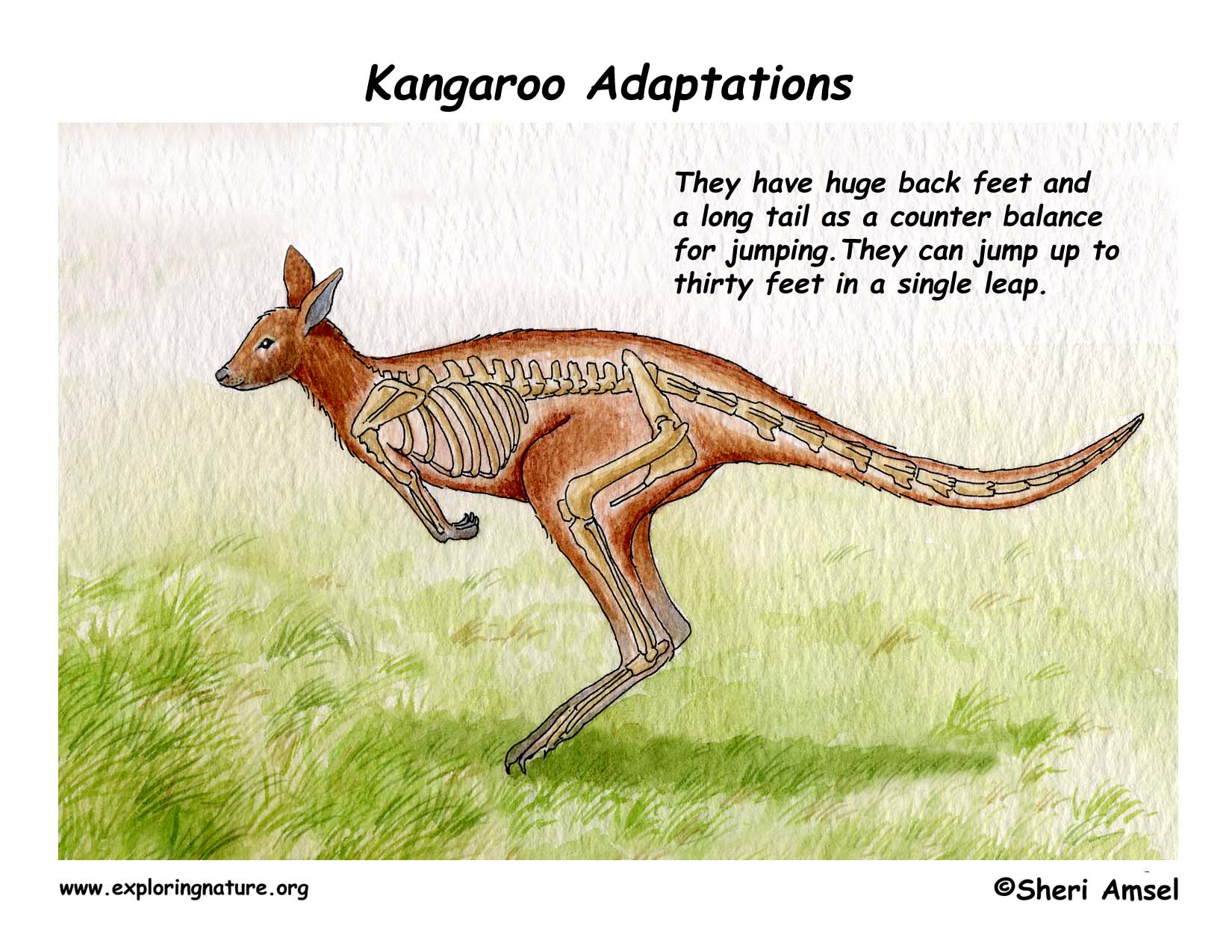Adaptations of the Kangaroo