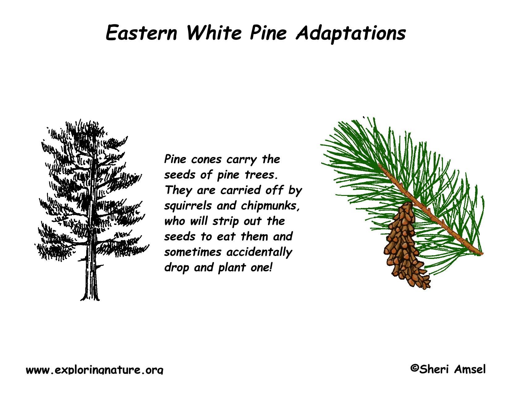 pine tree adaptations