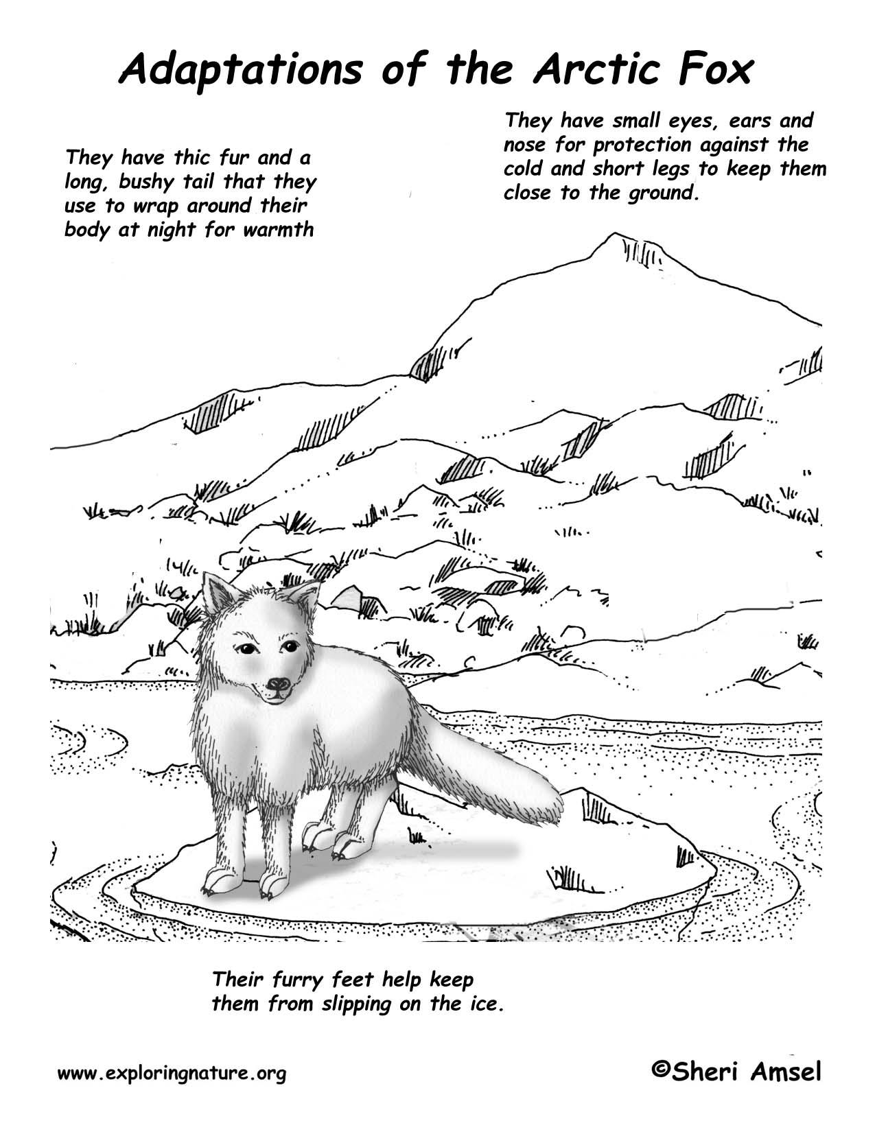 arctic fox adaptations in the tundra