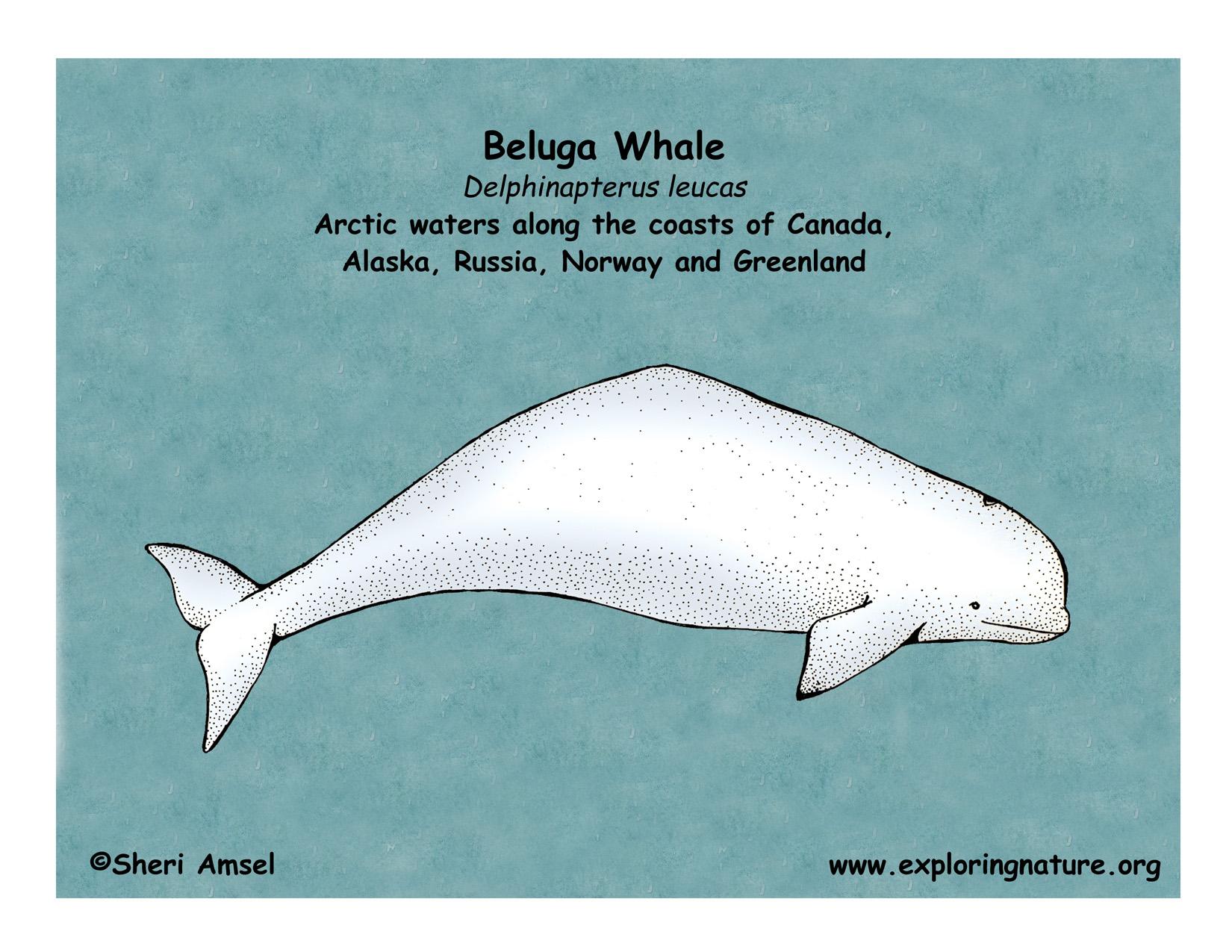 Whale  Beluga