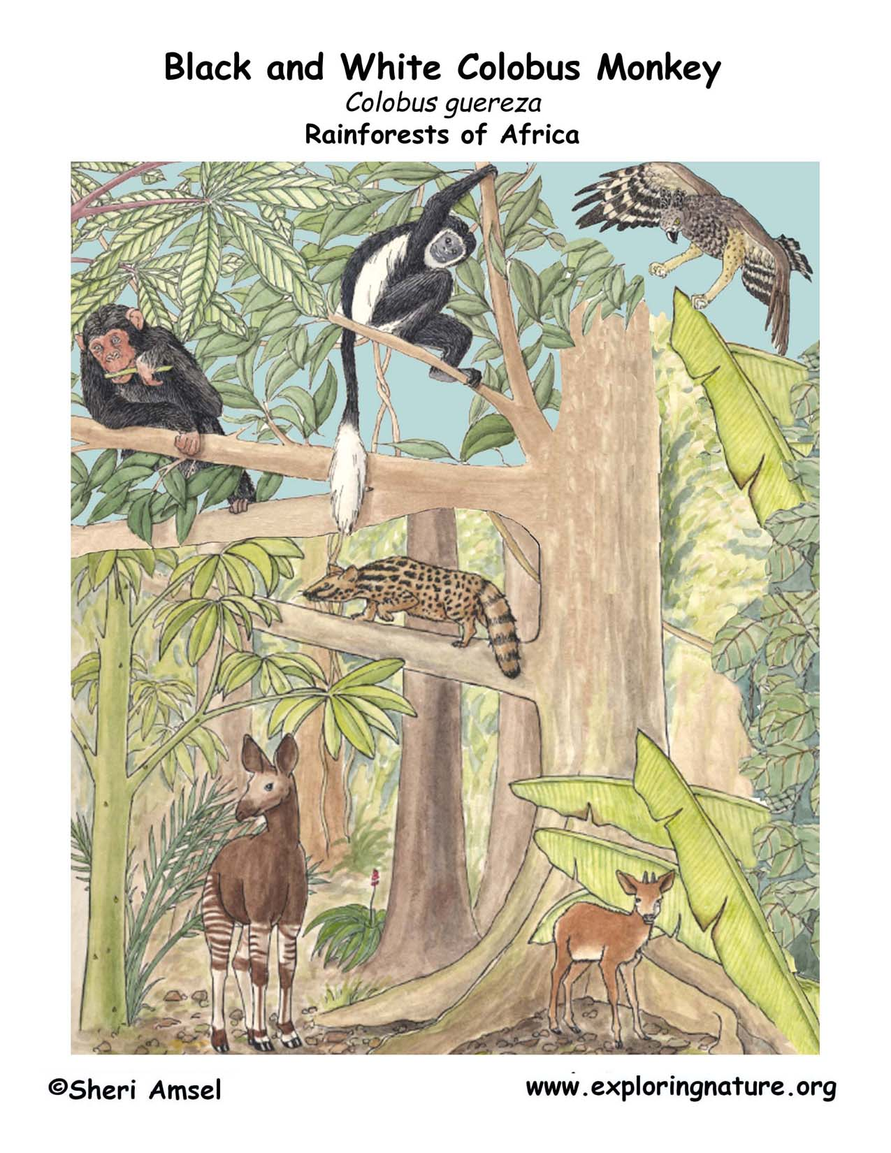 Download Hi Res Color Diagram Monkey Black And White Colobus