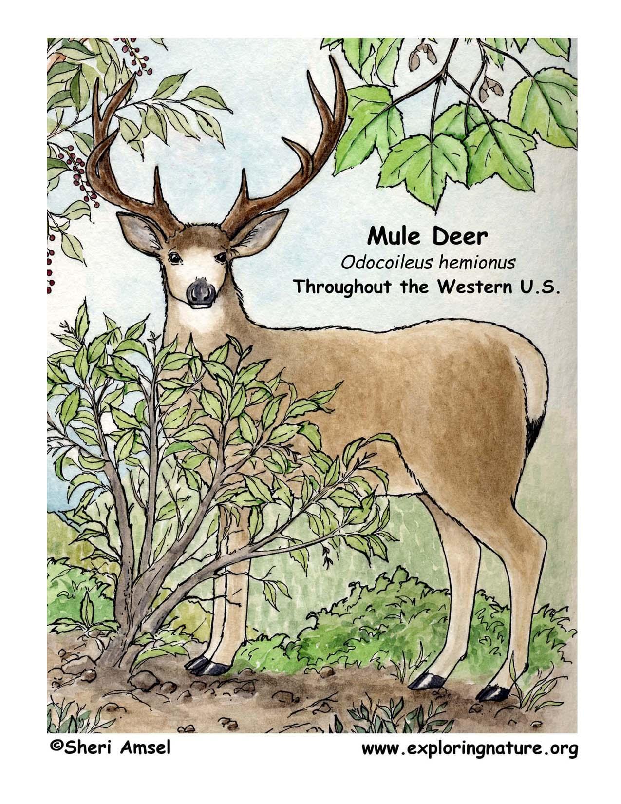 Deer Mule