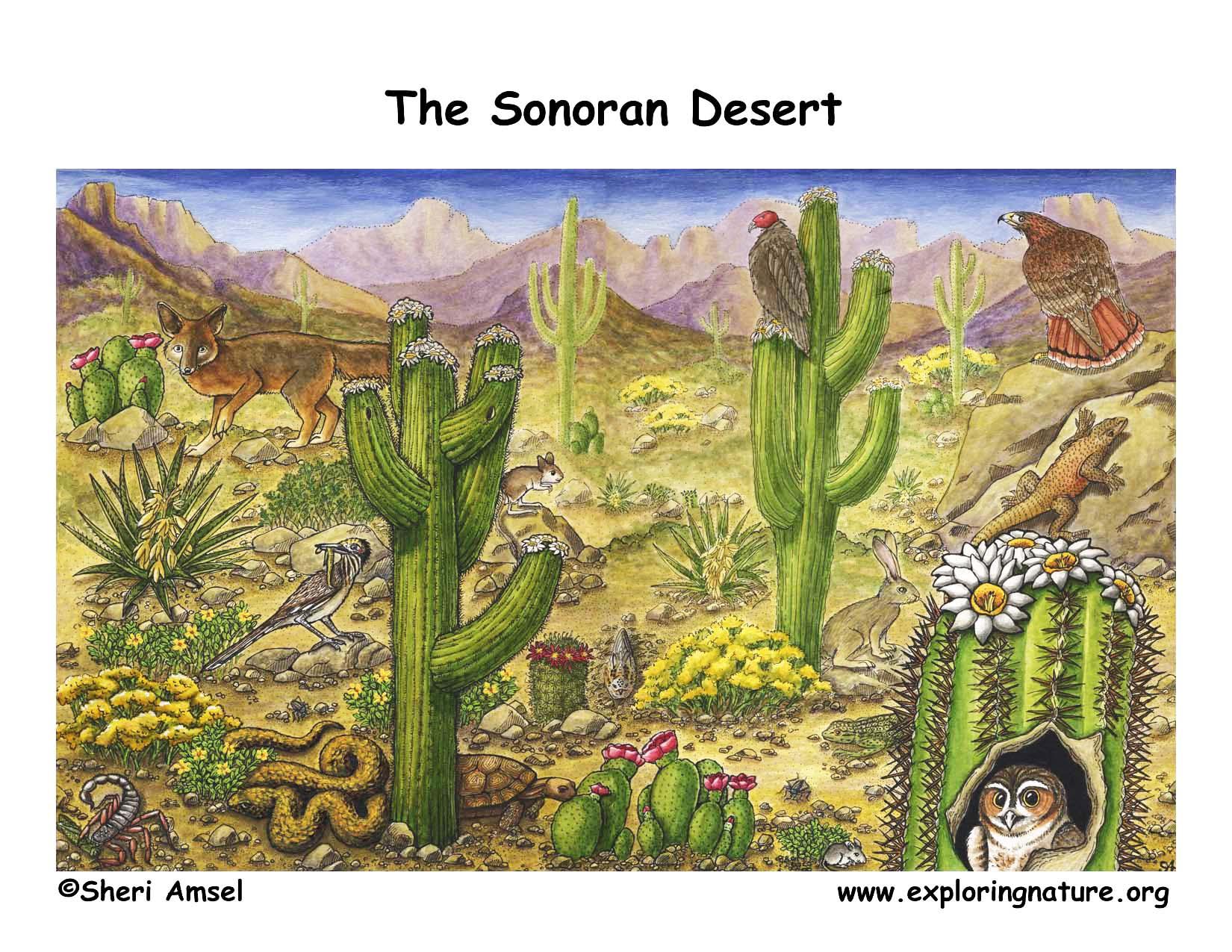 Deserts of North America Sonoran
