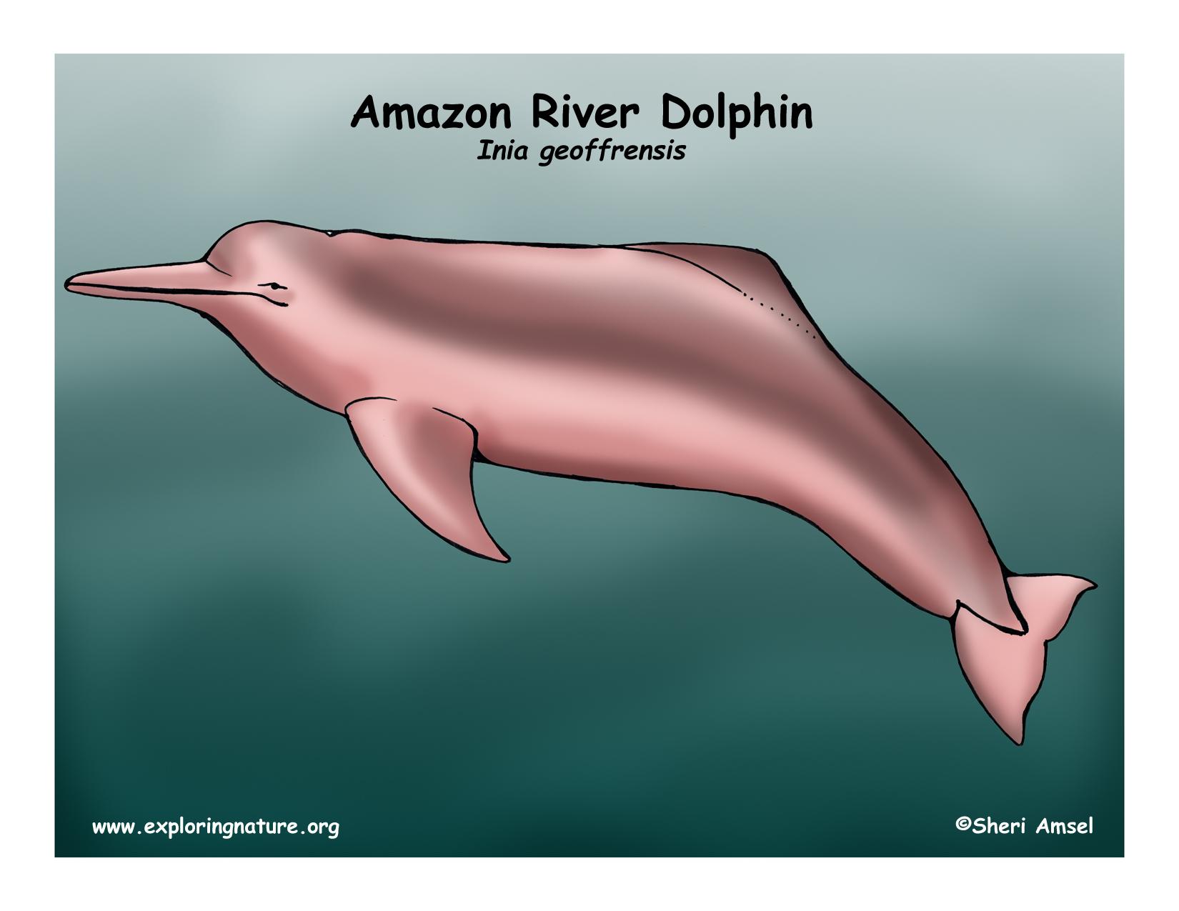 dolphin  amazon river  or boto